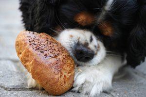 Hund mit Brot
